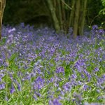 Bluebell in our campsite
