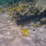 green moray eel bolting to right under ledge when i'm trying to shoot shy large reddish green fi