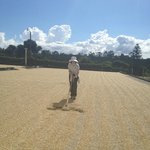 Fun on the tour: mixing coffee beans (drying in the sun for 3 day)s
