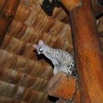 There's a Genet (wild cat) that hangs out in the main dining room of the lodge