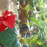 hibiscus in garden