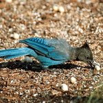 Steller's Jay a daily visitor