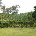 Plantaciones de Cafe