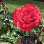 International Rose Test Garden, Portland, Oregon