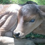 Poddy calf