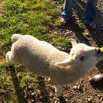 Feed the sheep!