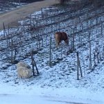 horses at the vineyard!