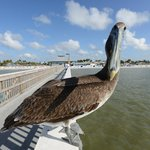 Harry the Pelican