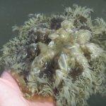 Upsidedown Mangrove jellyfish