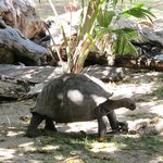 One of the giant tortoises that live free on the island