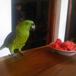 Lolita the family parrot