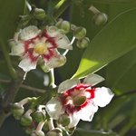 unknown but beautiful, waxy white and red flowers