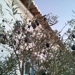Olive Tree next to Building
