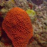 Encrusting sponge on coral