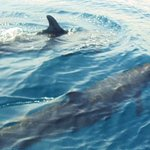 pseudo killer whales