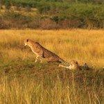 Tracking a cheetah