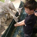 Hand feeding the Alpacas