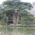 an 500 years old tree in the manor