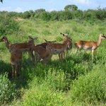 gli impala o gazzelle (non mi ricordo)