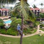 Palms trimmed the Hawaiian Way