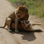 leones en la luna de miel