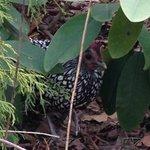 Heirloom chicken hiding under rhodendendrum
