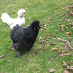 The friendliest of the chickens.  So cute!  They came up to greet me after I s