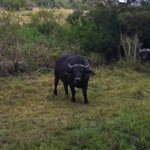 Amazing buffalo on game drive with Nico