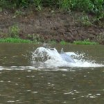 Dolphin dove in the river in front of the lodge