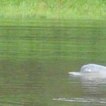 Dolphin in the river in front of the lodge