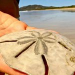 Sand dollar at Playa Grande