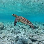 sea turtle at the reef of the island