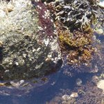 Sea stars (on the rocks), lots of small crabs, sea/rock weed, barnacles