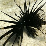 Common Lion Fish.