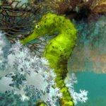 Yellow Sea Horse. A beauty. Almost luminous. Very Bright.