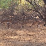 Spotted deer at Sasan