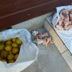 Oranges for juicing and conch shell collection