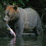 grizzly with its catch