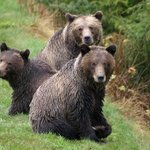 grizzly bears looking at you looking at them
