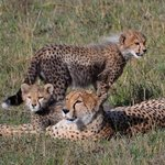 Narasha and her cubs