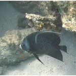 Gray Angel Fish