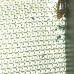 Huge bedbugs!