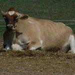 Vaca descansando