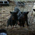 Cerdo ibérico?