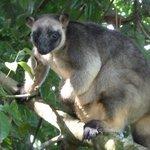 unexpected sighting - a tree kangaroo at Nerada