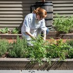 Chef in the herb garden