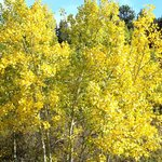 Aspens turning