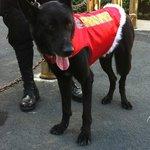 watch dog in christmas dress