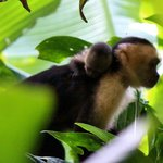 Mom and baby Capuchin in in Corcovado National Park