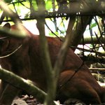 Male Puma in Corcovado National Park